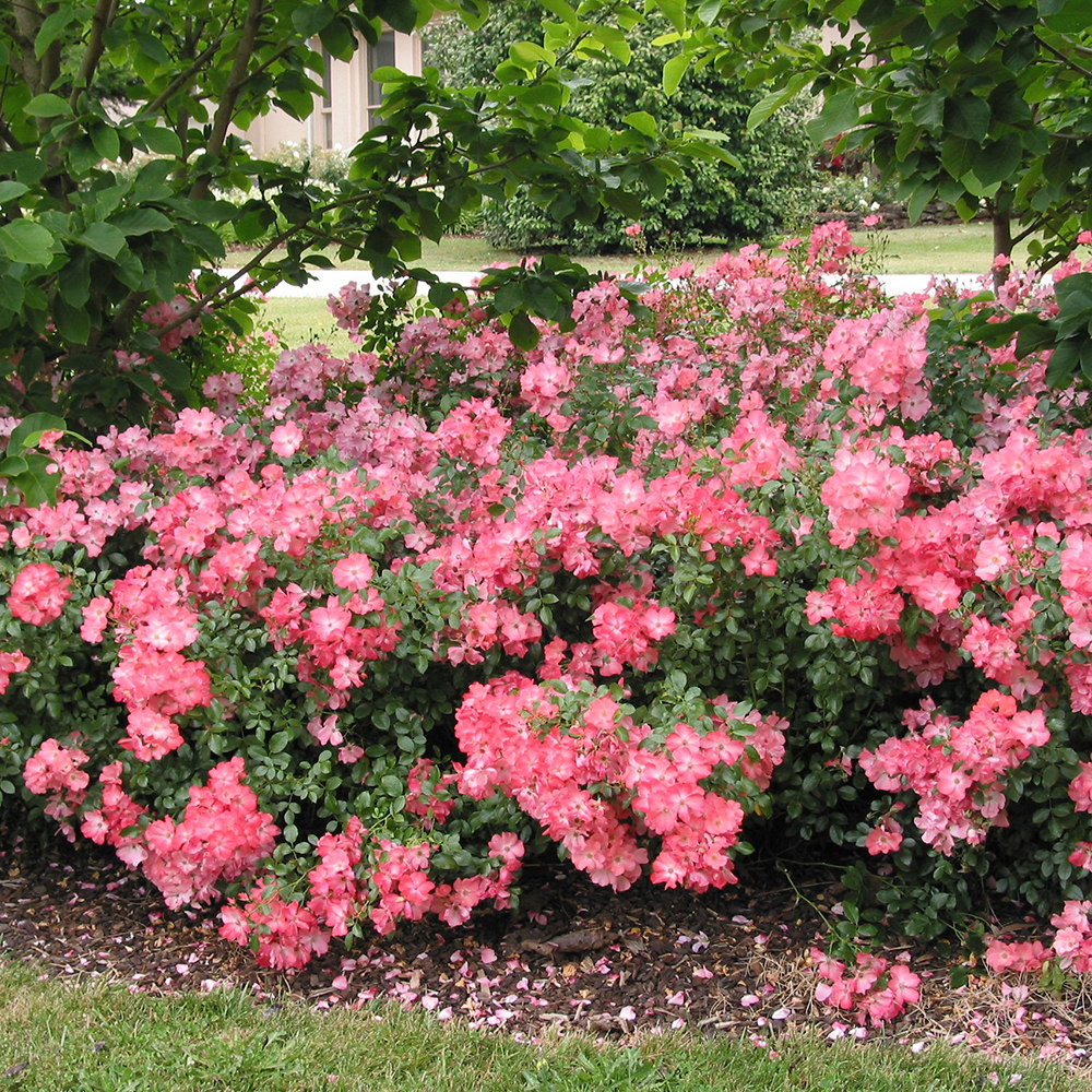 Monrovia Nursery Flower Carpet Coral Ground Cover Rose Plant 2 Gallon