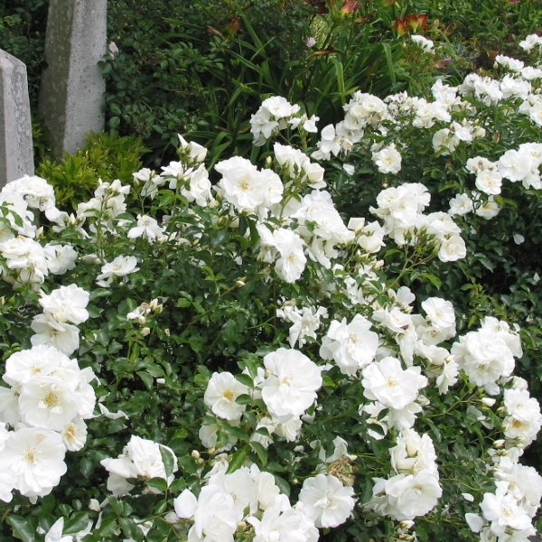 Monrovia nursery flower carpet white ground cover rose plant 2 gallon flower carpet white ground cover rose plant 2 gallon mightylinksfo Image collections