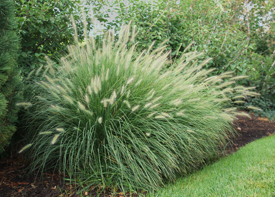T l nursery inc little bunny fountain grass 1 gallon for Long ornamental grass